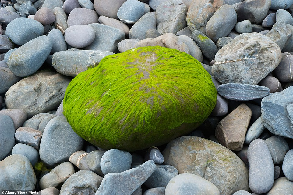 It's a shore thing: An ore-stone is one of those pebbles that washes up on the beach covered in an algae-like seaweed
