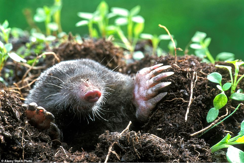 Don't make a mountain out of a wontytump: Yes, that's what Herefordshire folk call Mr Mole's hills