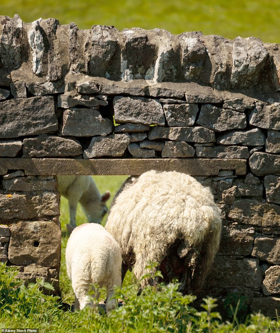 The animals came in two by two: It's a gap in a dry stone wall to let them into the next field