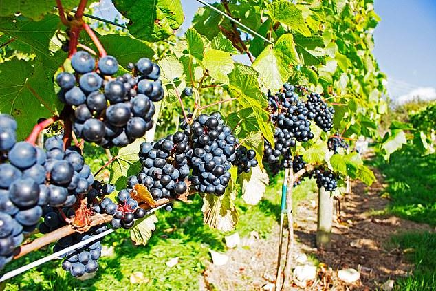 Prize winner: Gwinllan vineyardhas been producing wine from 2015