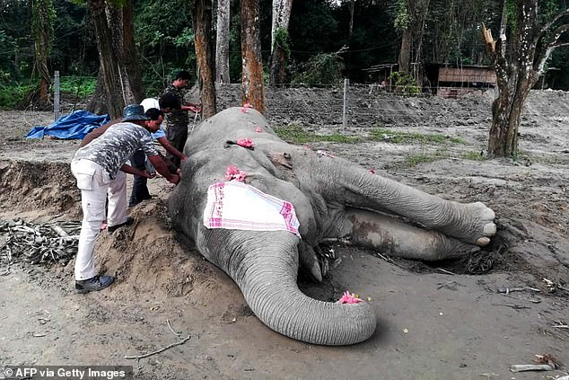 Indian forest guards measuring the body of the dead wild elephant known as 'Laden', that was captured after killing five villagers during a days long rampage at Orang National Park