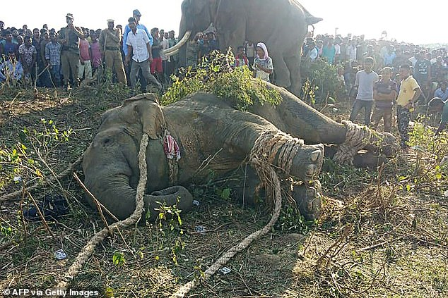 The elephant lying on the ground after been tranquillised by villagers after it killed five people, in Rongjuli forest division in Western Assam's Goalpara district last week